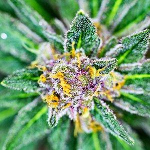 medical cannabis medical marijuana products