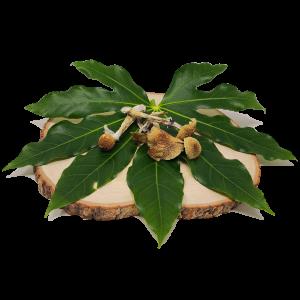 Ecuadorian Psilocybe Cubensis Mushrooms - Mystic Golden Caps